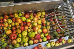 Waschvorgang von Äpfeln