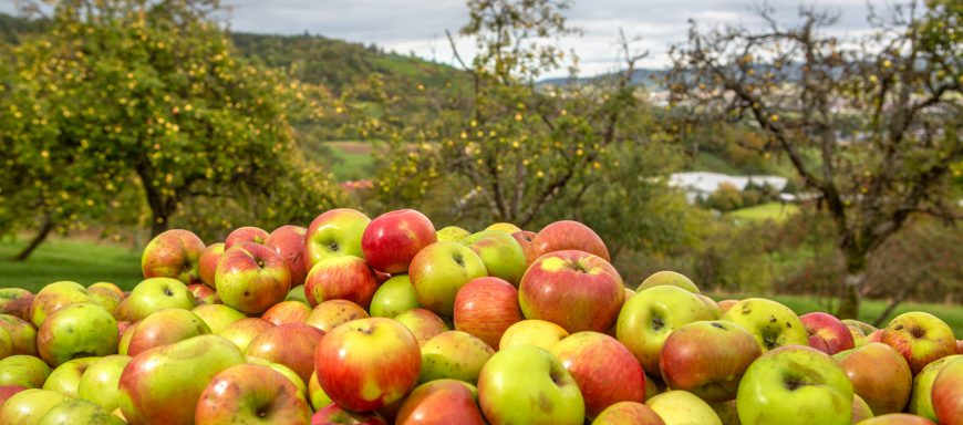 Äpfel im Vordergrund Streuobstwiese im Remstal im Hintergrund