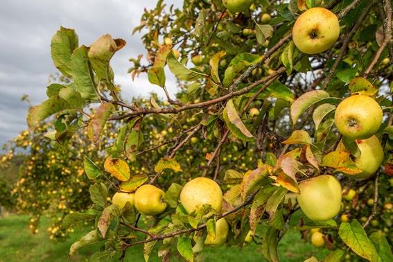 Streuobstwiese Äpfel
